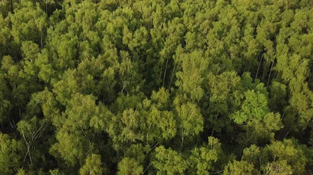континентальный : Sunlit birch grove from above. Shot from drone flying above green treetops