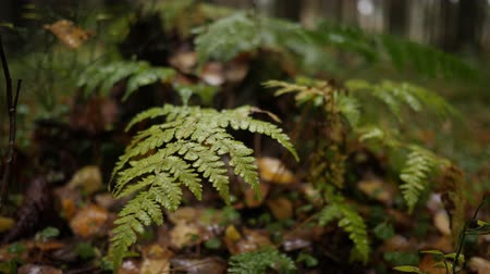 primeval : Rain drops fall on green fern leaf in autumn forest. Handheld shot Stock Footage