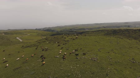 cow farm : Flying over herd of cows grazing on green stony meadow in Armenian mountains