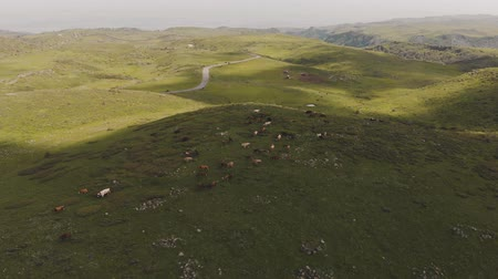 armenia : Flying around green hill with cow herd grazing on top of it. Aerial in highlands