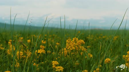 kaukázus : Bright yellow wildflowers sway in the wind. Snowy mountain ridge in the background Stock mozgókép