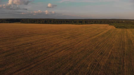 Farming field of wheat and blue sky. Flying above medow before sunset Стоковые видеозаписи