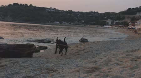 жевать : Cute young black labrador runs with stick on sea shore at sunset time