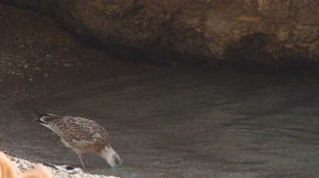 erodida : Female sea gull cleans feathers in clear water in shadowed grotto
