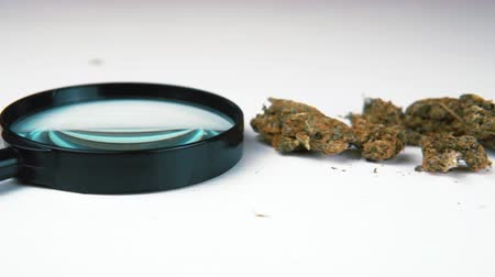 thc : Medical marijuana buds and magnifier on white table. Cannabis in the male hand close-up Stock Footage