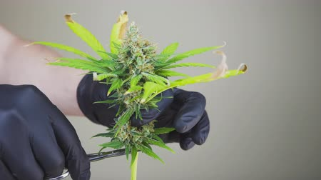Close-up of persons hands with black gloves cuts down hemp plants. Harvest and crop marijuana plant, indoors. Concept of growing cannabis plant for producing herbal alternative medicine and cbd oil.