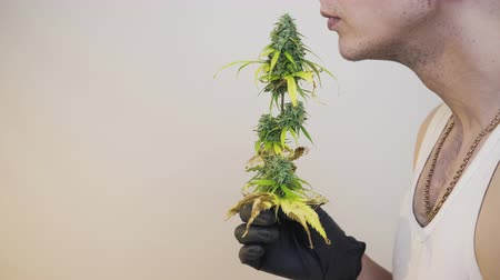 The young person sniffing marijuana buds, close-up. Cannabis plant growing indoor. Hemp is a concept of herbal medicine