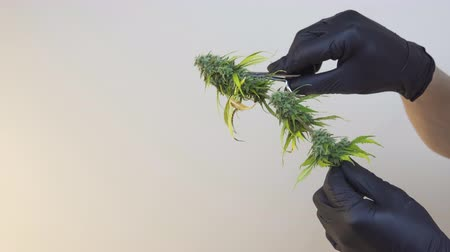 Close-up of persons hands with black gloves trimming hemp plants. Harvest and trimming marijuana plant, indoors. Concept of growing cannabis plant for producing herbal alternative medicine and cbd oil.