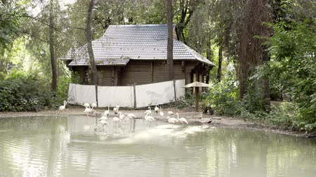 brodění : A group of flamingo on water. White flamingo in the zoo. Concept of travel, zoo and exotic birds