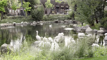 hejno : A group of pelicans on water. White pelican in the zoo. Concept of travel, zoo and exotic birds Dostupné videozáznamy