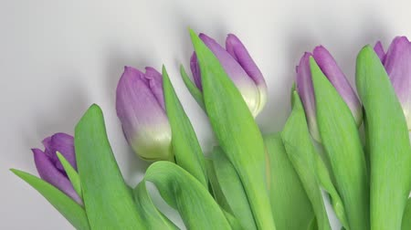 oito : Bouquet of spring flowers, lilac tulips on white background close up - 8 march, Valentine day or mothers day holiday concept
