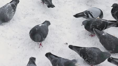 migalhas : Large group of pigeons walking, pecking at the ground covered with snow and looking for food and bread in winter
