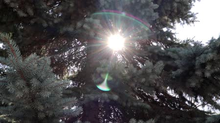 timberland : Sunshine beams through fir tree branches in park or forest, lens flare background for intro Stock Footage