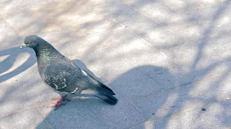 migalhas : A pigeon walking and bobbing its head, looking for food to eat