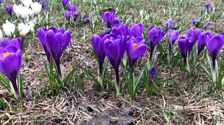 florescente : Blue tender delicate pastel spring crocus flowers moving by the wind, close up