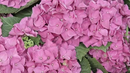 florescente : Gorgeous lush beautiful pink hydrangea flowers close up, panoramic view. Wedding backdrop, Valentines Day concept. Outdoors, summertime. Lilac flowers bunch background