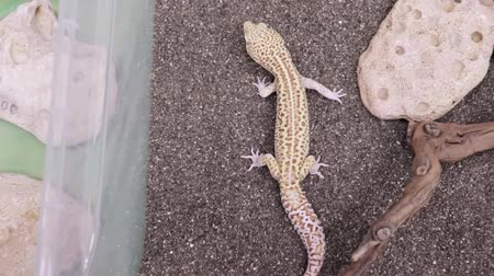 субтропический : A little lizard gecko crawling on a sand in terrarium