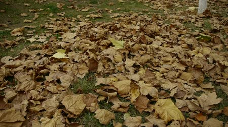 környezeti : falling golden leaves full on ground. Stock mozgókép