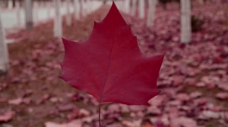 red maple : A red leaf in the woods,shaking in the wind,Forest as background.