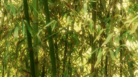 ışınları : wind shaking bamboo,quiet atmosphere in sunshine.