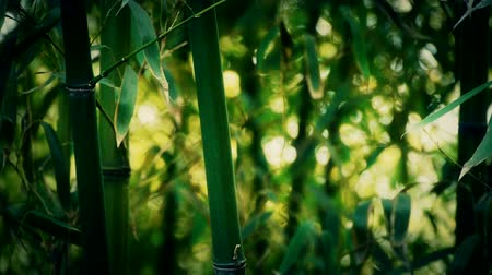 bambusz : wind shaking bamboo,quiet atmosphere in sunshine.
