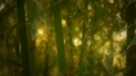 bambusz : wind shaking bamboo,quiet atmosphere in sunshine,Hazy style.