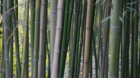 bamboo forest : wind shaking bamboo,quiet atmosphere in sunshine.