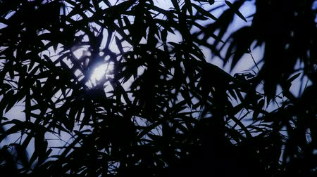 derűs : wind shaking bamboo silhouette,quiet atmosphere in sunshine.