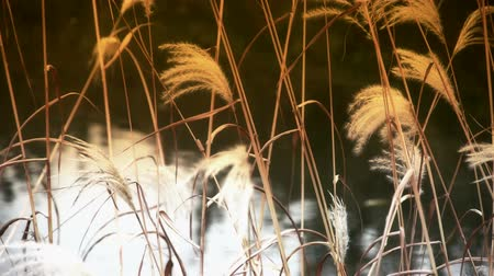 kırsal : river reeds in wind,shaking wilderness,reflection,Hazy style. Stok Video