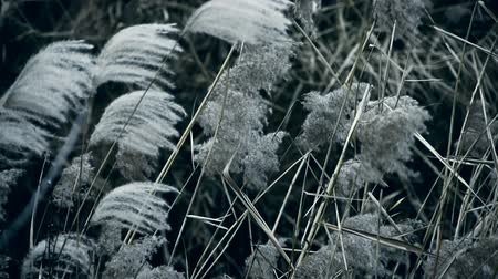 boru hattı : river reeds in wind,shaking wilderness,Black and white style.