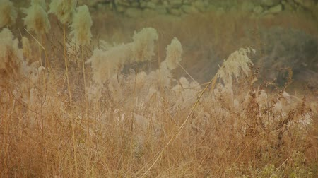 brilhar : river reeds in wind,shaking wilderness,Hazy style.