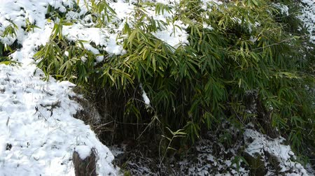 congelado : Snow covered Bamboo,swaying in wind. Vídeos