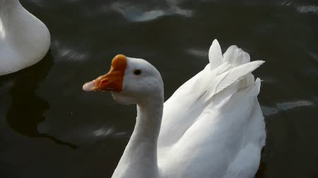 bird species : Goose,Ducks geese and swans swimming on water,lake. Stock Footage