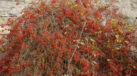 хлорофилл : Red fruit bushes on stone wall.