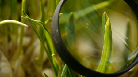macrobiotic : Magnifying glass to study verdant wheat seedling in sun. Stock Footage