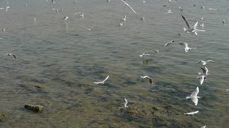 racek : Many seagull flying in sea,reef,Seaside dams of QingDao city. Dostupné videozáznamy