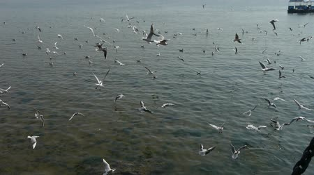racek : Many seagull flying in sea.