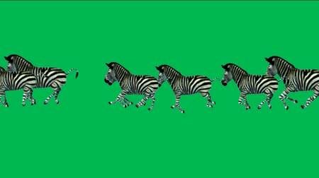 a group of zebra running with green screen.