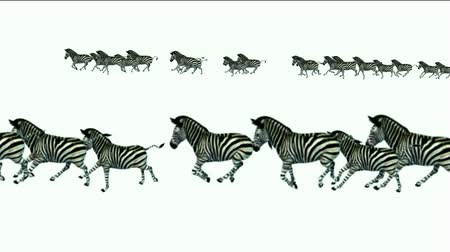 friesian : a group of zebra running. Stock Footage