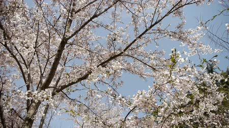 blooms : beautiful cherry blossoms tremble in wind.