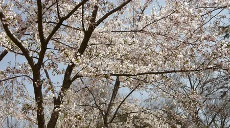 springtime : beautiful cherry blossoms tremble in wind.