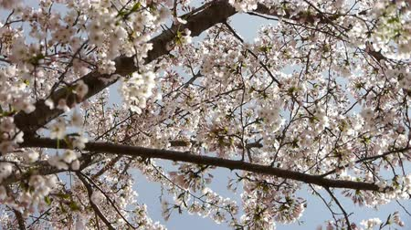 small park : beautiful cherry blossoms tremble in wind.