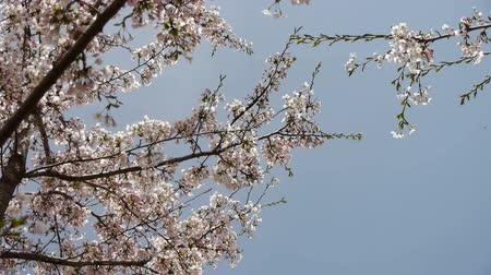 copy space : beautiful cherry blossoms tremble in wind.