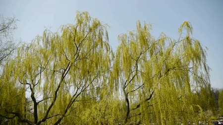 oksijen : Dense willows by sparkling lake,Tourists cruise ships on water.