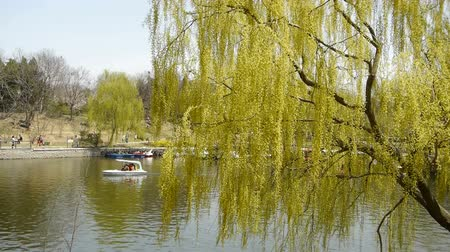 лебедь : Dense willows by sparkling lake,Tourists cruise ships on water.