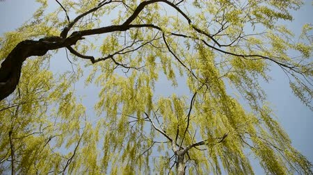 сильный : Dense willows by sparkling lake,blue sky background.