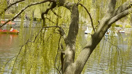knotted : Dense willows by sparkling lake,Tourists cruise ships on water.