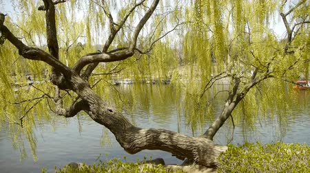 İngilizce : Dense willows by sparkling lake,Tourists cruise ships on water.