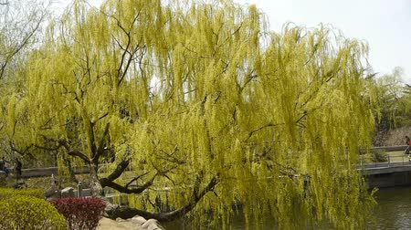 knotted : Dense willows by sparkling lake.
