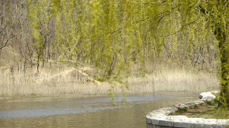 rind : Dense willows by sparkling lake,reed,reedbed,wetland. Stock Footage